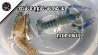 เทคนิคการสังเกตุกุ้งจะลอกคราบทุกสายพันธุ์กับkorattv crayfish