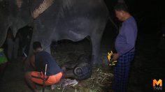 ช้างหมู่บ้านช้างเพนียดหลวงตกลูกเชือกที่ 78 ในคืนพระจันทร์เต็มดวง