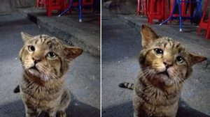 เอ็นดู! แมวจรจัดสายแบ๊วทำหน้าเศร้า นั่งอ้อนขอกินไก่