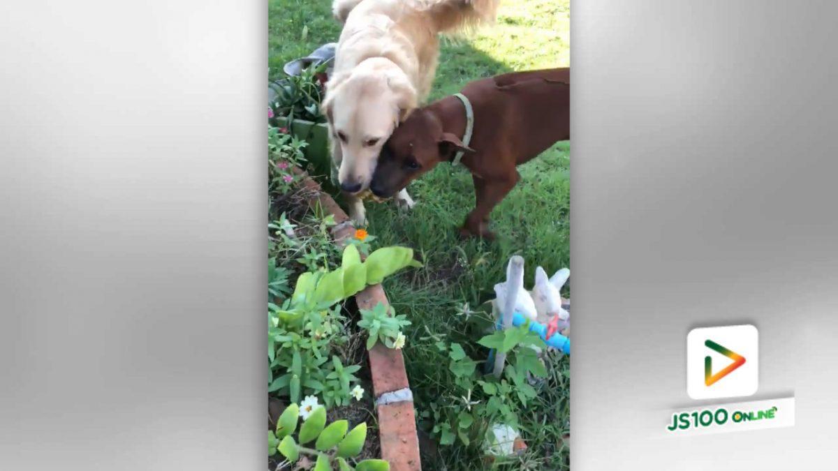 สงสัยสับปะรดจะหวานมาก สุนัขถึงกับต้องแย่ง!! (18-4-61)