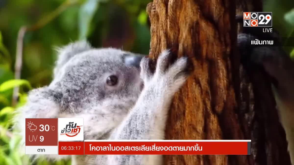 โคอาลาในออสเตรเลียเสี่ยงอดตายมากขึ้น