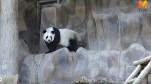สวนสัตว์แจง! ฟันหลินฮุ่ยผุจริง เหตุจากฟันเขี้ยวล่างมีการเจริญไม่สมบูรณ์ตั้งแต่เด็ก