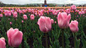 เที่ยวฮอกไกโด ชมทุ่งดอกทิวลิป ที่สวนคะมิยูเบทสึ (Kamiyubetsu Park) ญี่ปุ่น