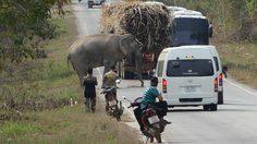 ปิดตำนาน ด้วนด่านลอย ช้างป่าจอมซ่าปล้นรถขนอ้อยล้มแล้ว หลังมันติดเชื้อรุนแรง