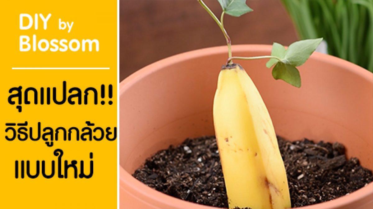 เจ๋ง!! วิธีปลูกกล้วยให้กินได้ใน 3 อาทิตย์