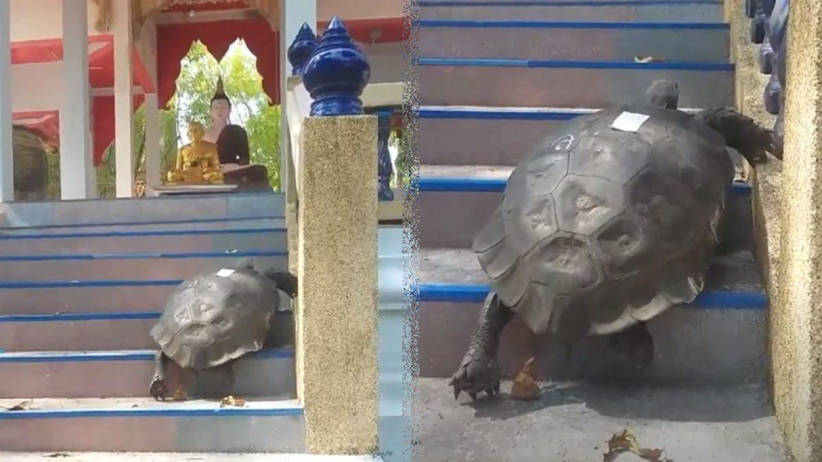 ฮือฮา!! เต่าเดินขึ้นบันไดกราบพ่อท่านคล้าย เกจิอาจารย์ชื่อดังเมืองคอน