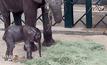 ลูกช้างเกิดใหม่ในรัฐเทกซัส สหรัฐฯ