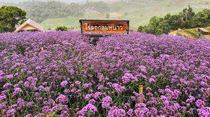 ทุ่งดอกเวอร์บีนา ม่อนแจ่ม เบ่งบานรับสายฝน สีม่วงหวานไปทั่วดอย