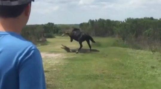 เมื่อ ม้าป่าลองดีสู้กับจระเข้!! นี่แหละม้ากระทืบโรงของจริง ใครจะอยู่ใครจะไป