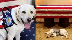 ภาพสุดซึ้ง! ซัลลี สุนัขลาบราดอร์ นอนเฝ้าโลงศพจอร์จ บุช อำลาเจ้านาย