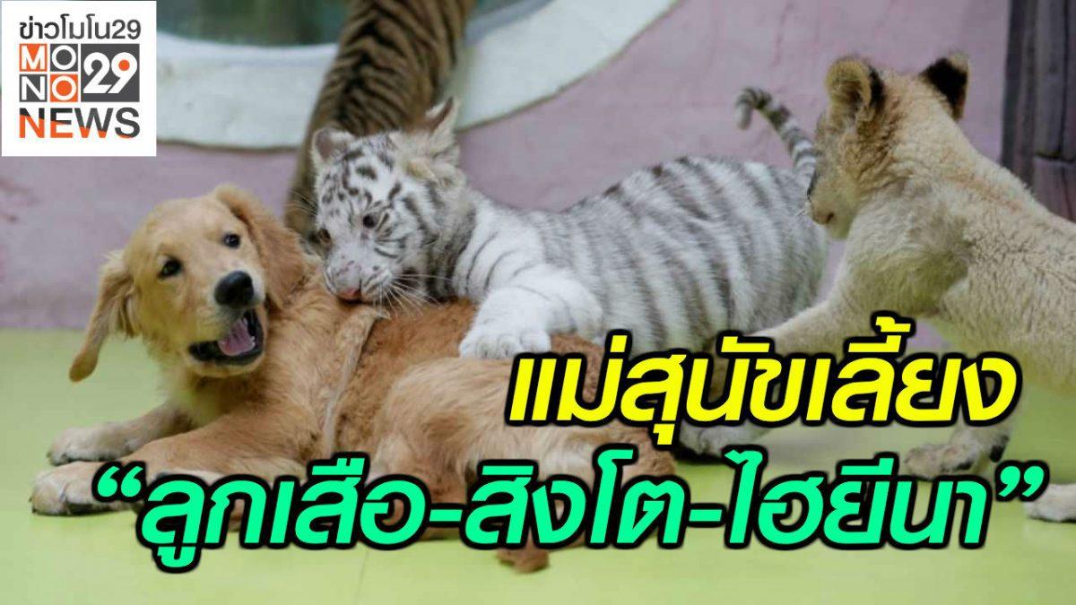 """#เรื่องเล่ารอบโลก แม่สุนัขเลี้ยง """"ลูกเสือ-สิงโต-ไฮยีนา"""""""
