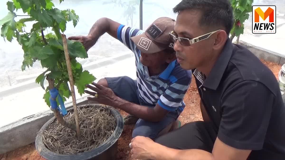 """""""ต้นแบบ """"สวนองุ่น"""" เกษตรกรพลิกพื้นที่ดินเค็ม ปลูกองุ่นสำเร็จรายแรกในตรัง"""