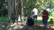 ถึงเฮี้ยนก็ยอม!! แห่ขอโชค 'ต้นมะค่ายักษ์' อายุกว่า 500 ปีในสุสาน