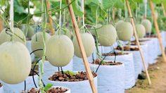 ฟินเวอร์! 8 ฟาร์มเมล่อน ในไทย ชิมเมล่อนลูกโต สดๆ จากสวน