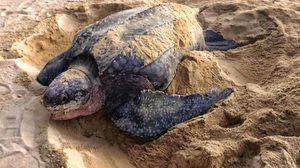 ดร.ธรณ์ เผยคลิป นาทีเต่ามะเฟือง วางไข่ ที่หาดท้ายเหมือง พังงา