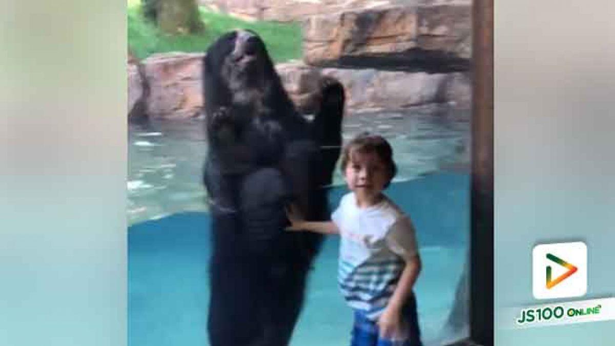 คลิปน้องไปดูหมี หมีคงชอบน้องเล่นชวนเล่นด้วยกัน ที่สวนสัตว์แนชวิลล์ ประเทศสหรัฐอเมริกา (18-06-61)