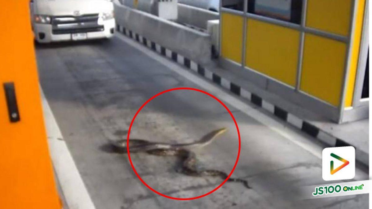 งูเหลือมยักษ์ ร่วงจากรถกลางด่านเก็บค่าผ่านทางพิเศษมอเตอร์เวย์ (10-01-62)