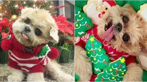 Marnie สุนัขคอเอียงสุดน่ารัก ในชุดคริสต์มาส