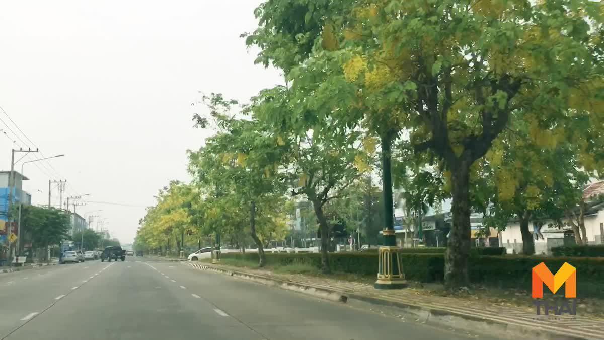 เหลืองอร่าม ! ดอกคูณบานสะพรั่งสองฝั่ง ถ.เณรแก้ว จ.สุพรรณบุรี จ่อขึ้นแท่นเป็นถนนสายดอกไม้อีกหนึ่งแห่ง