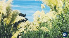 ทุ่งดอกหญ้า Pampas เกาหลีใต้ พริ้วสะบัด สวยราวขนนก