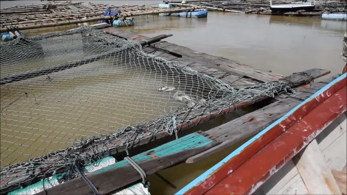 ชาวประมงเลี้ยงปลากระชังเศร้า ปลาน็อคน้ำตายหลังฝนถล่ม 4วัน เสียหายนับล้าน