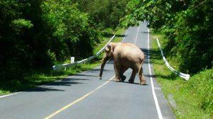 หายห่วง! อุทยานแห่งชาติเขาใหญ่ จัดเจ้าหน้าที่ดูแลผลักดันช้างป่า ป้องกันอุบัติเหตุ