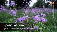ทุ่งดอกหงอนนาค สีม่วงอร่าม บานแล้วที่ ศักดิ์สุภา รีสอร์ท จ.ปราจีนบุรี