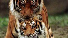 29 กรกฎาคม วันอนุรักษณ์เสือโคร่งโลก