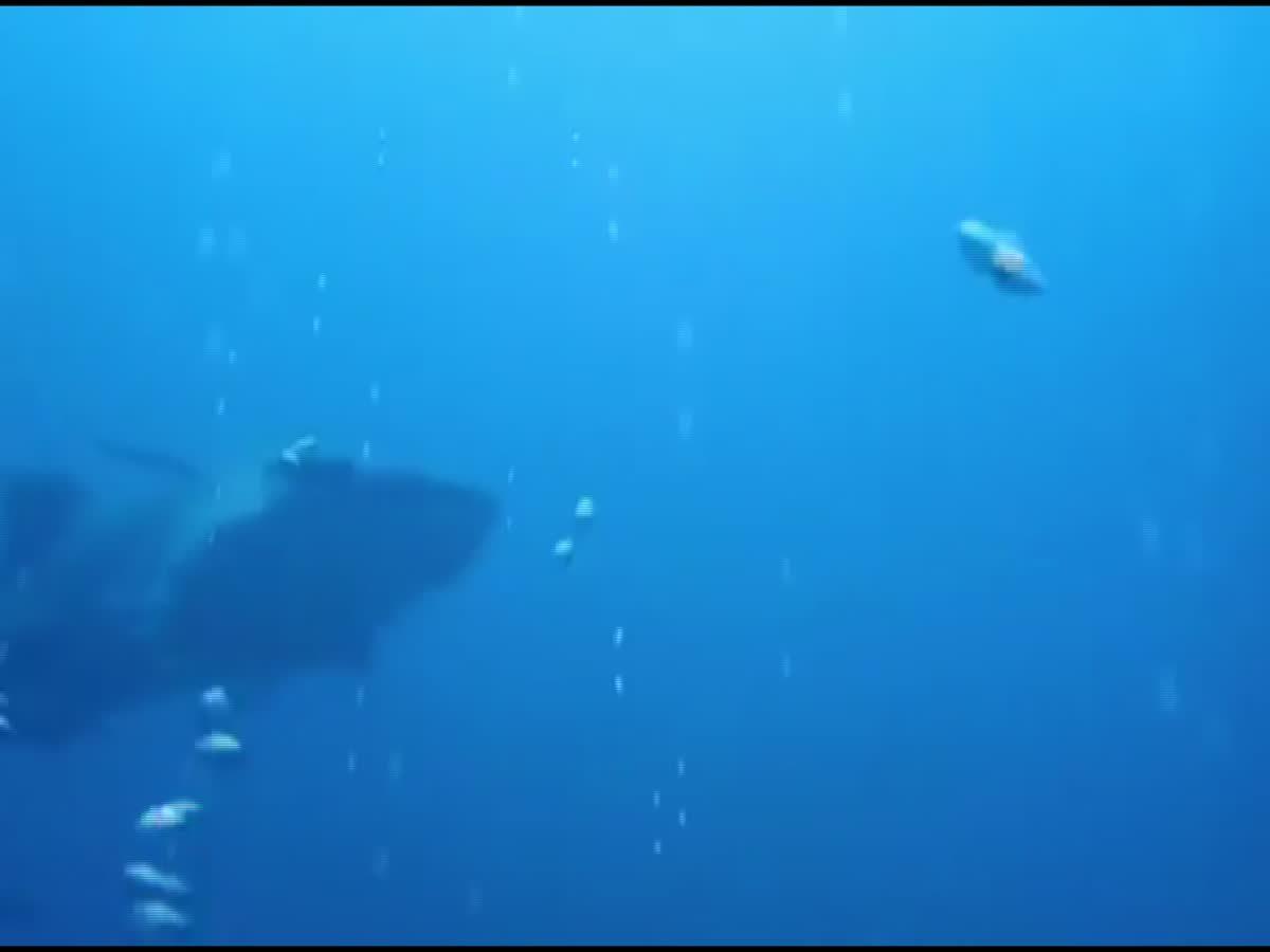 ฉลามวาฬ โผล่ที่ทะเลสตูล