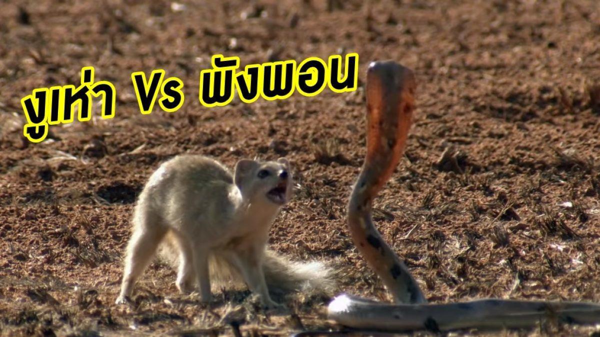 ศัตรูคู่ฟ้า! งูเห่า Vs พังพอน ดวลกันตัวๆ แบบสโลโมชั่น