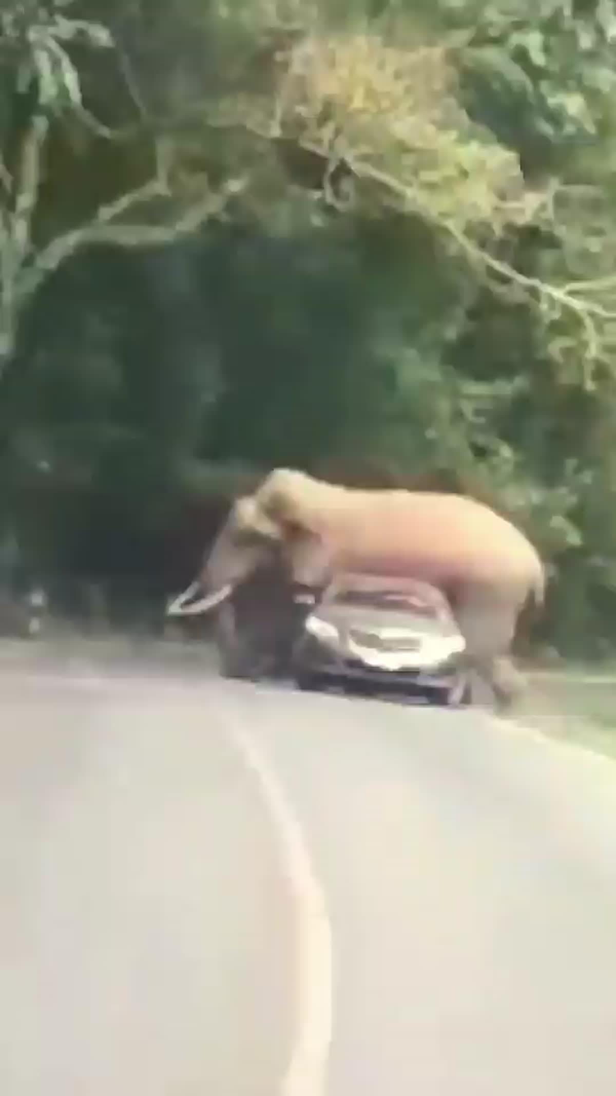 ช้างป่าเขาใหญ่ ทับรถ นทท. โชคดีไร้เจ็บ