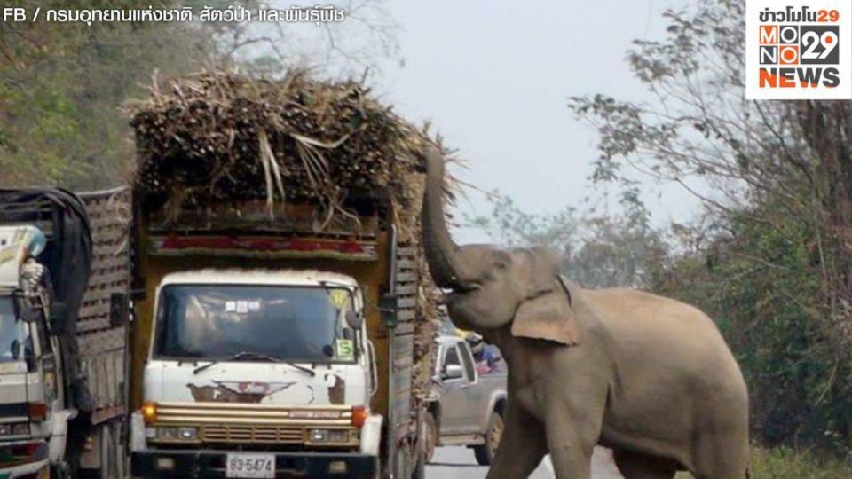 เตือนระวังช้างป่า เขาอ่างฤาไน หลังโผล่ขวางรถ ฉกกินพืชผลเกษตร