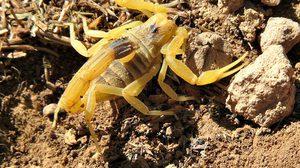 แมงป่องที่พิษร้ายที่สุดในโลก เดธ สตอล์คเกอร์ Death Stalker scorpion