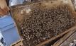 ภัยแล้งกระทบเลี้ยงผึ้ง พิษณุโลก