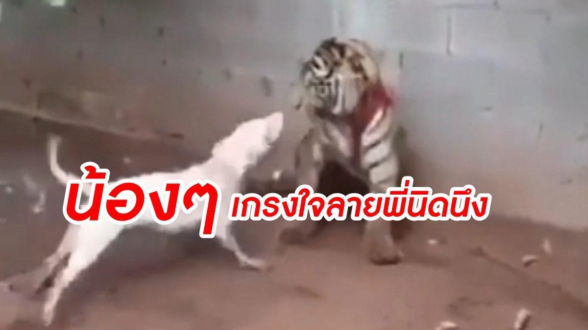 กระดูกคนละเบอร์ หมา VS เสือ บุกไม่เกรงใจลาย เลยโดนดีเข้าไปขย้ำไปเต็มๆคำ