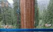 โคลนนิ่งต้นไม้ยักษ์ในแคลิฟอร์เนีย