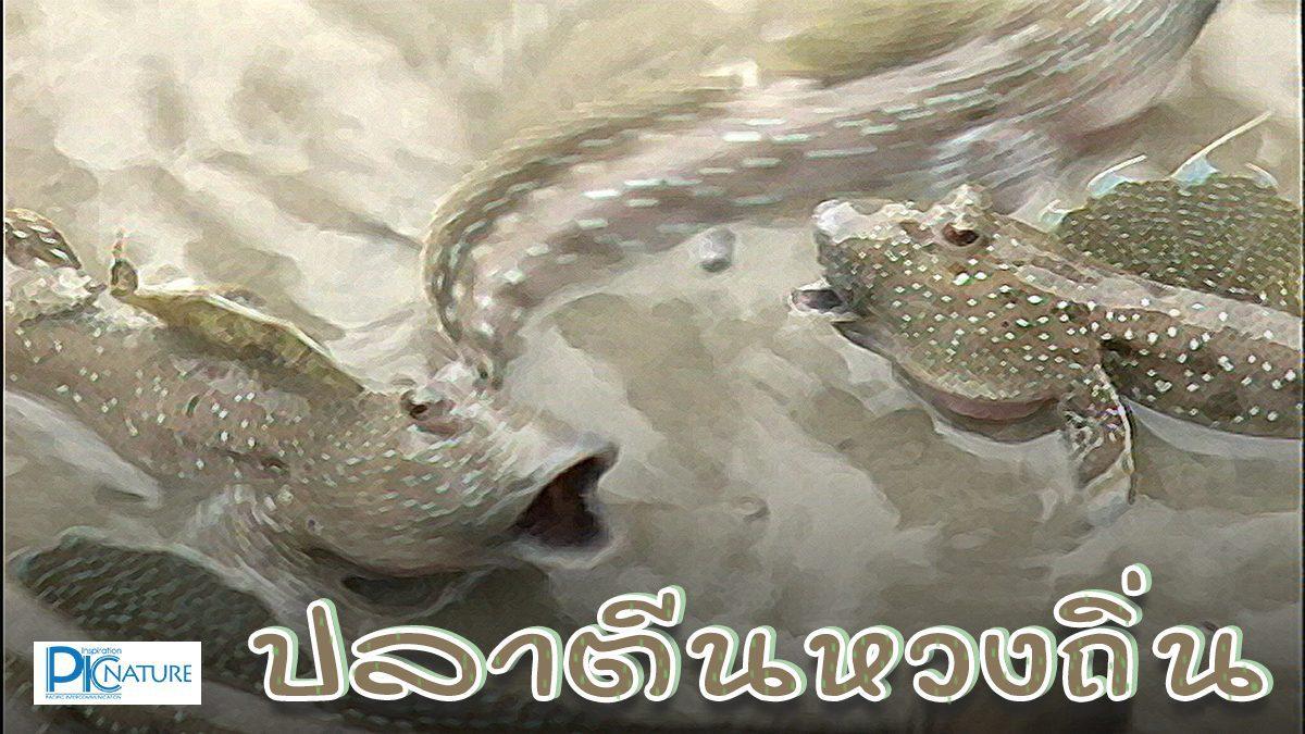 ปลาตีนหวงถิ่น