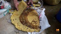 ชาวบ้านออกตระเวนหาผึ้งป่า ยอมเจ็บตัวเพื่อแลกกับรายได้วันละ 1,000 บาท