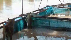 น่ารัก ! สุนัขพันธุ์ไทยแสนรู้ เฝ้ากระชังปลาแทนเจ้าของ