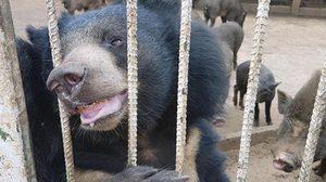 ผกก.สภ.เมืองเพชรบูรณ์เผย ยังไม่ตั้งข้อหาใครปมหมีแก้วกัดคน