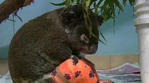 """เศร้า """"ลูอิส"""" โคอาลาหนีไฟป่าออสเตรเลียเสียชีวิตแล้ว"""