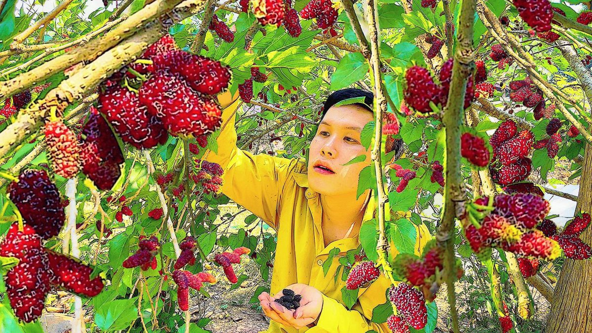 วิธีทำให้หม่อนออกลูกดก (มัลเบอร์รี) / How to make a mulberry tree have a lot of fruit / 如何使桑树有很多果实