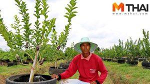 แนะทางรวย! 2ผัวเมียปลูกมะนาวแป้น 200 ต้น สร้างรายได้กว่า 2 หมื่นบาททุกเดือน