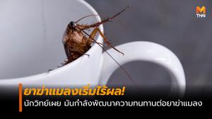 ยาฆ่าแมลงเริ่มไร้ผล! แมลงสาบกำลังพัฒนาความทนทานต่อยาฆ่า