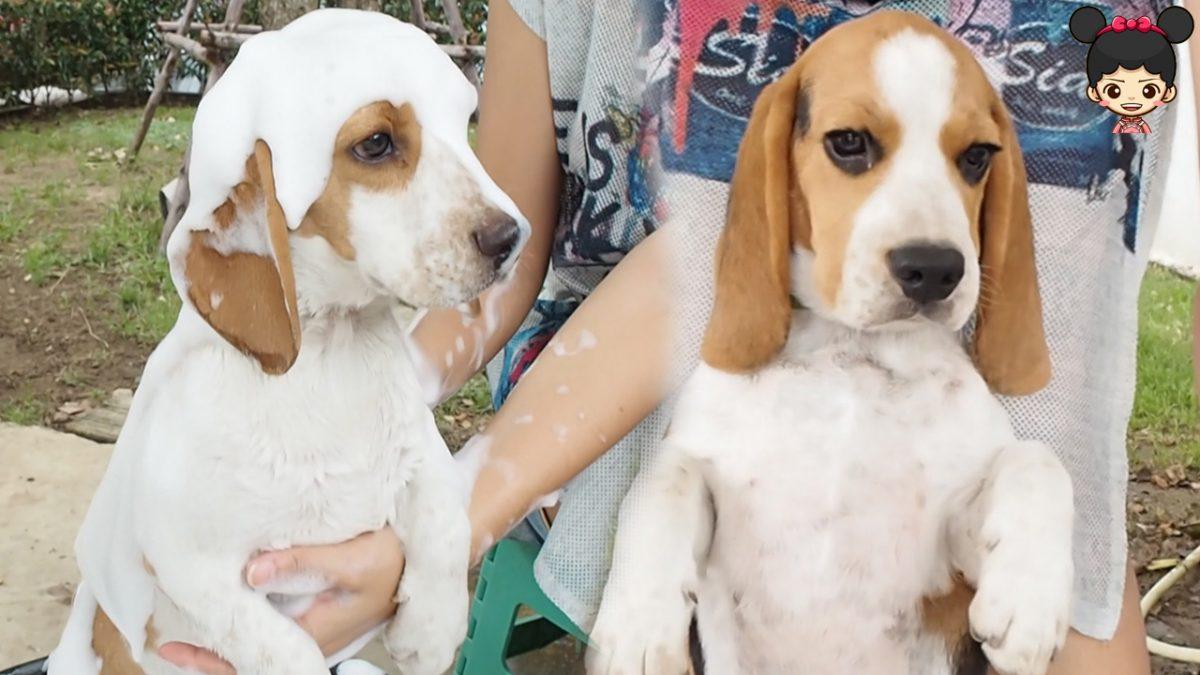 หมาบีเกิ้ลอาบน้ำฟองสบู่ | น้องดีไซน์อาบน้ำให้หมาน้อย ปาร์ตี้ & โปเต้
