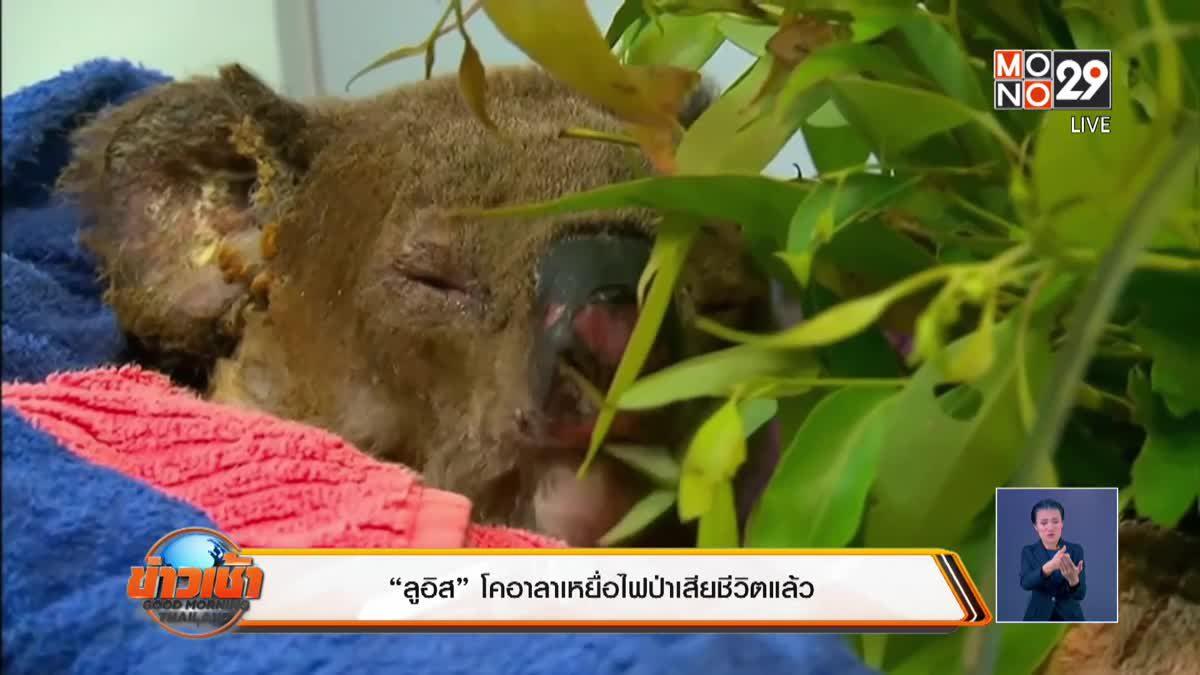 """""""ลูอิส"""" โคอาลาเหยื่อไฟป่าออสเตรเลียเสียชีวิตแล้ว"""