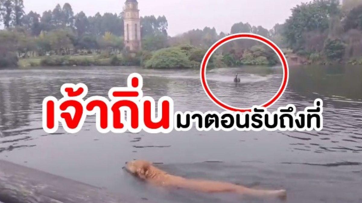 ถิ่นใคร ถิ่นมัน! เมื่อ น้องหมาโกลเด้น โดดเล่นน้ำ แล้วเจอแขกไม่ได้รับเชิญ ไล่ที่