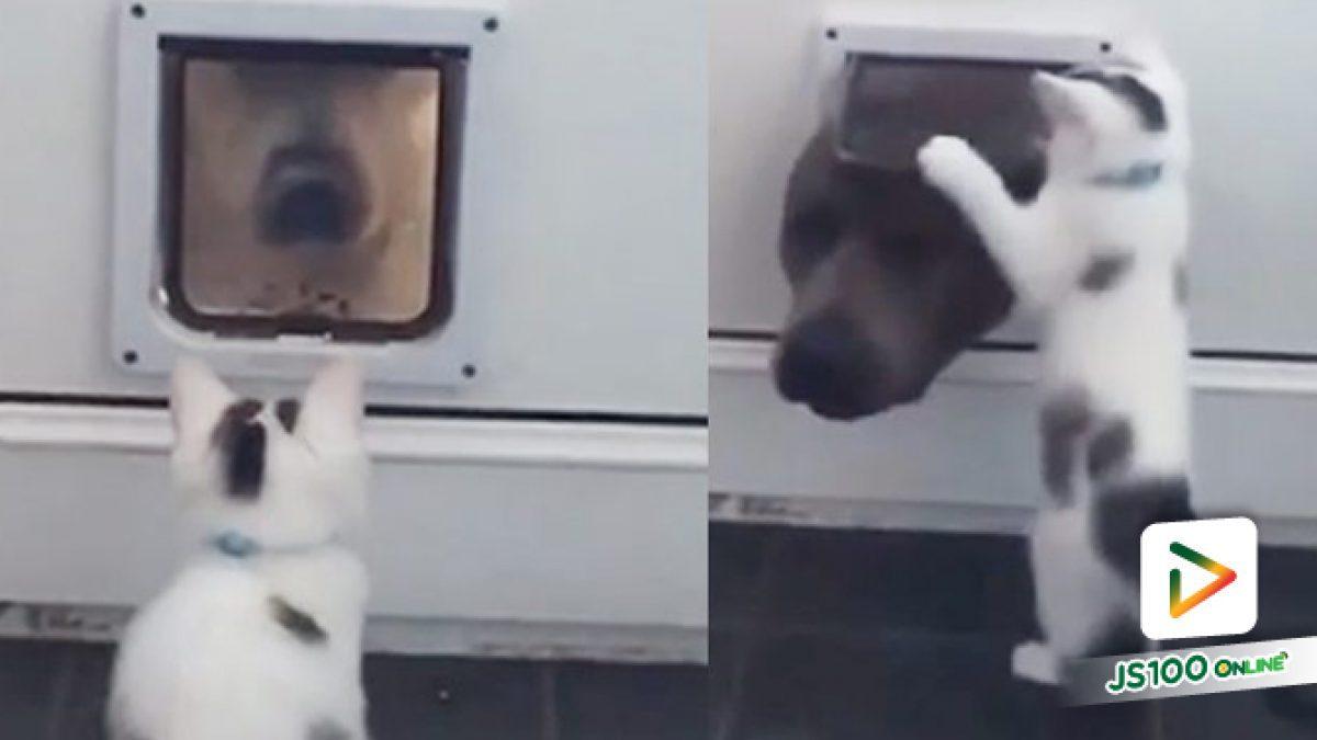 คลิปน้องเหมียวหวงไม่ยอมให้หมาโผลเข้ามาที่ประตู เอ็นดูน้อง (09-10-61)