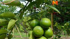 หนุ่มนักข่าว ปลูกมะนาว 40 ต้น ขายผลขายกิ่ง ฟันเงินเหนาะๆ 3 แสน