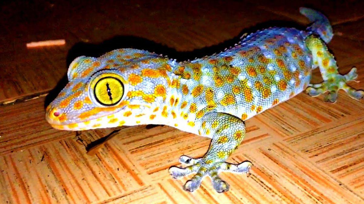 """ที่บ้านไร่สายทอง """"ตุ๊กแก"""" ช่วยกำจัดปลวก : Pet's Baan-Rai-Sai-Thong """"Gecko"""" to get rid of termites"""